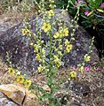 Verbascum Species. ( V. nigrum^) - Flickr - gailhampshire.jpg