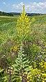 Verbascum speciosum sl12.jpg