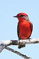 Vermilion Flycatcher (6842661804).jpg
