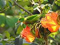 Vernal Hanging Parrot Loriculus vernalis by Dr Raju Kasambe (3).JPG
