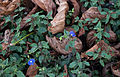 Veronica peduncularis Georgia Blue.jpg