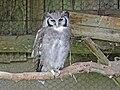 Verreaux's Eagle Owl RWD.jpg