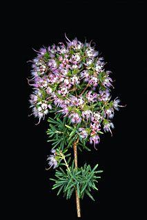 <i>Verticordia densiflora</i> species of plant