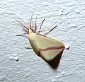 Vestal. Rhodometra sacraria. Geometridae » Sterrhinae - Flickr - gailhampshire.jpg
