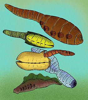 Vetulicolia Extinct Cambrian taxon of deuterostomes