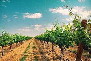 Campo de Cariñena - Vineyard in the Campo de Cariñena