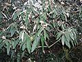 Viburnum rhytidophyllum 2.JPG