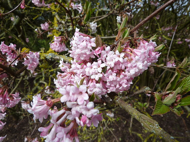 file viburnum x bodnantense 39 dawn 39 caprifoliaceae flower jpg wikimedia commons. Black Bedroom Furniture Sets. Home Design Ideas