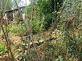 Vigna unguiculata 20150910.jpg
