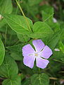 Vinca major periwinkle cultivated Duke Forest.jpg