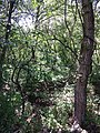 Vitis vinifera subsp. sylvestris sl8.jpg