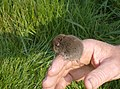 Vole saved - geograph.org.uk - 435553.jpg
