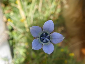 Wahlenbergia - Wahlenbergia capensis