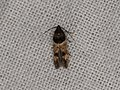 Walshia miscecolorella (20535461840).jpg