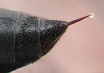 Waspstinger1658-2.jpg