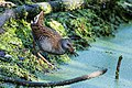 Water rail Rallus aquaticus (37337411980).jpg