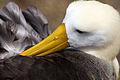 Waved Albatross, Galápagos Islands.jpg