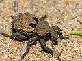 Weevil (Brachycerus sp.) (11966394595).jpg
