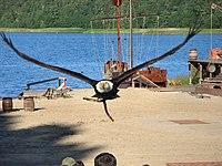 Weisskopfseeadler in Ralswiek.jpg