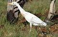 Westerm cattle egret, Bubulcus ibis at Rietvlei Nature Reserve, Gauteng, South Africa (22413237429).jpg