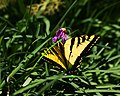 Western Tiger Swallowtail Butterfly (3336608383).jpg