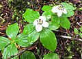 Western bunchberry - Flickr - brewbooks.jpg