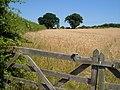 Wheatfield beside Port Lane, Gunstone - geograph.org.uk - 205366.jpg