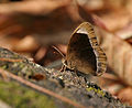 White-bar Bushbrown (Mycalesis anaxias) at Samsing, Duars, West Bengal W IMG 6133.jpg