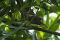 White-collared Foliage-Gleaner - Intervales NP - Brazil S4E0118 (12901477465).jpg