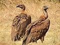 White-rumped vulture (Gyps bengalensis) Pair 1 Photograph by Shantanu Kuveskar.jpg