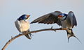 White-throated Swallow, Hirundo albigularis at Marievale Nature Reserve, Gauteng, South Africa (9703361926).jpg