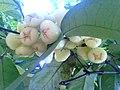White Syzygium.jpg