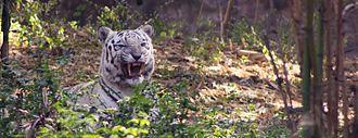 Tiger versus lion - A white tiger at Rajiv Gandhi Zoological Park, Pune, India