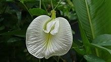 White butterfly pea.jpg
