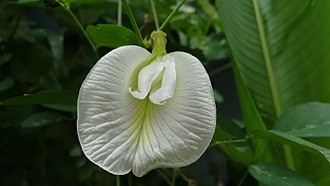Clitoria ternatea - A white butterfly pea