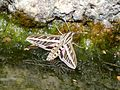 White lined sphinx Hyles lineata Hummingbird moth.jpg