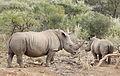White rhinoceros or square-lipped rhinoceros, Ceratotherium simum. (17325010076).jpg
