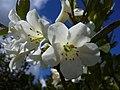 White rhododendron (3303372802).jpg