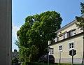 Wiener Naturdenkmal 501 - Spitzahorn (Döbling) c.jpg