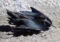 Wild kakī, black stilt - 1.jpg