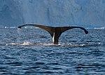Wilhelmina Bay Antarctica Humpback Whale 12 (46421722805).jpg