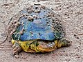 William's African Mud Turtle (Pelusios williamsi) (7080593585).jpg