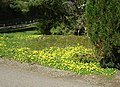 Winter Aconites - geograph.org.uk - 775514.jpg