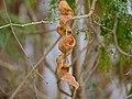 Winter Thorn (Faidherbia albida) pods (11886823095).jpg