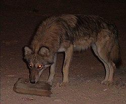 Un loup d'Arabie, la nuit, dans le désert d'Arava, en Israël