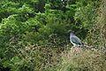 Wood pigeon in Moturau Moana.jpg