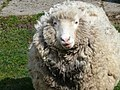 Wooly sheep front.JPG