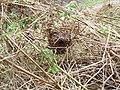 Wren Nest 24-04-10 (4576271158).jpg
