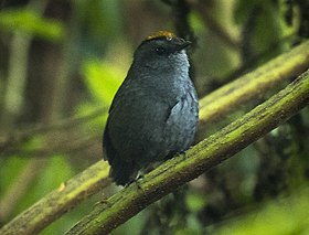 Wrenthrush - Central Highlands - Costa Rica MG 6965 (26603415282).jpg