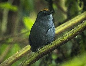Wrenthrush - Wrenthrush in Central Highlands, Costa Rica